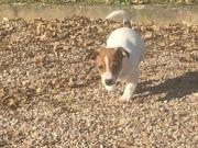 Verkaufe Jack Russell Terrier gebraucht kaufen  Gierstädt