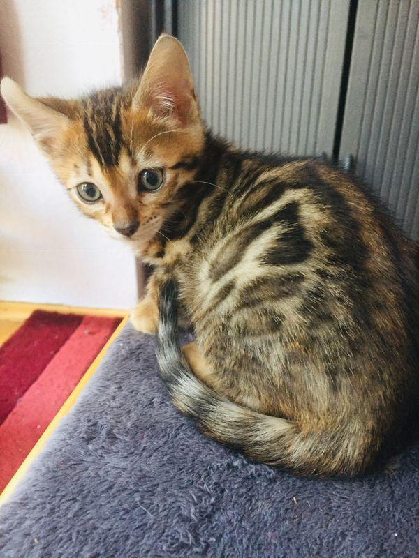 Reinrassige Bengal Kitten Katzen Kater
