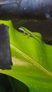 Phelsuma nigristriata abzugeben