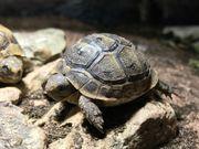 Europäische Landschildkröten/Maurische