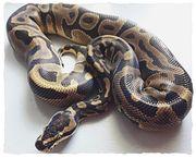 2 Königspython; Python