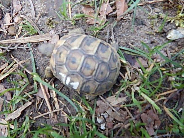 Griechische Landschildkröte ( Thb) » Reptilien, Terraristik