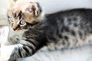 Bildschöne Maine Coon Kitten