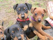 Zwergpinscher-Hunde