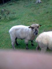 Shropshire Zuchtbock