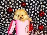 Extra Mini Pomeranian