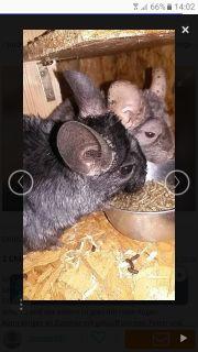 2 Chinchilla Männchen