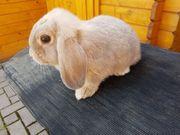 Zwergwidder Kaninchen Lux