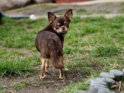 Mini KH Chihuahua Junghündin m