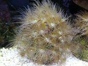 Parazoanthus