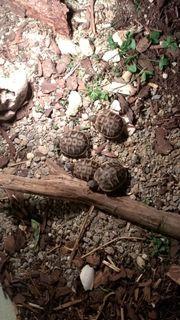 Griechische Landschildkröten Schildkröten
