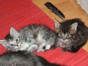 2 reinrassige Maine Coon-Kitten suchen
