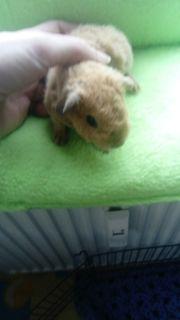Us Teddy Meerschweinchen