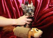 Rarität Super Mini Yorkshire Terrier