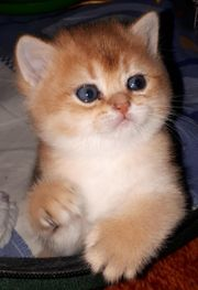 Goldene BKH Kitten/