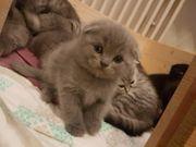 BKH und Scotisch Foold Babykatze