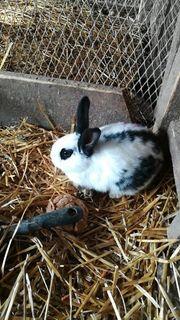 Riesen Schecke Hasen Kaninchen