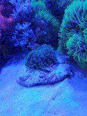 Meerwasser Korallen Rhodactis Scheibenanemone