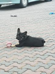 Französische Bulldogge Rüde 1 1