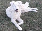 Junger Maremmano Herdenschutzhund Rüde Aladin