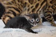 Bengal Kitten Reinrassig brown silver
