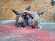 Hasen / Kaninchen Babys