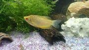 männliche goldene Fadenfische