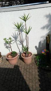 Yucca Palme 6köpfig