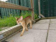 reinrassige Abessinier Kitten
