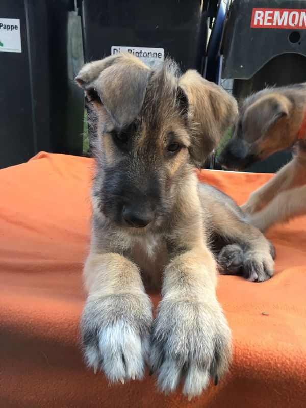 Irish Wolfhound Rasselbande » Hunde