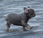 Französische Bulldogge Lilac Tan Rüde