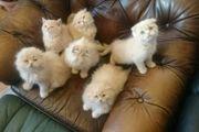 6 süße Persermischlinge suchen ein