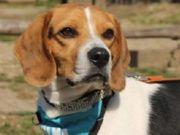 NISCO, Beagle - aktiver,