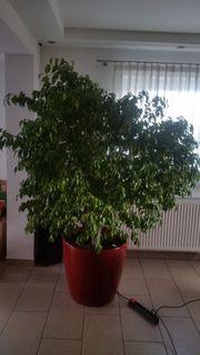 Großer Ficus Benjamini