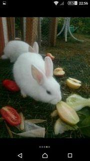 schneeweiße Kaninchen Hasen
