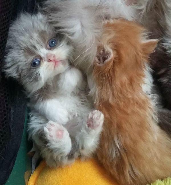 reinrassige perser Babys » Katzen