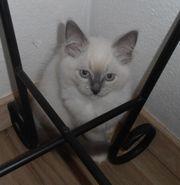 Reinrassige Ragdoll Kitten