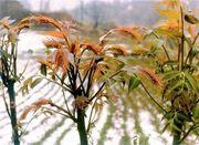 Chinesischer Surenbaum Gemüsebaum
