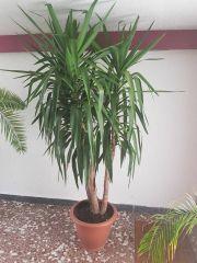 Yucca Pflanze