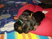 bezaubernde Border Terrier