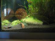Aquarien Schwimmpflanzen Kleiner