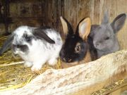 junge Hasen Kaninchen