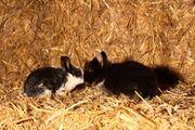 Junge Kaninchen Löwenkopfkaninchen Zwergkaninchen Hase