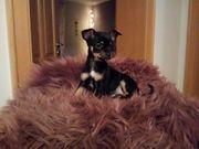 Wunderschöne Chihuahua Welpen suchen ein