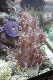 Ableger Pilzlederkoralle, Keniabäumchen,