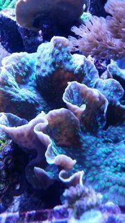 Echinopora Lamellosa Korallen Meerwasser