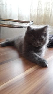 Maine -Coon Perser