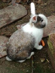 Kaninchen weiblich geimpft