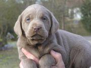 Labrador Welpen in SILBER