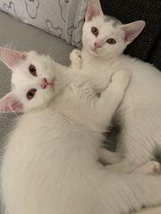 Bkh main Coon Kitten mix